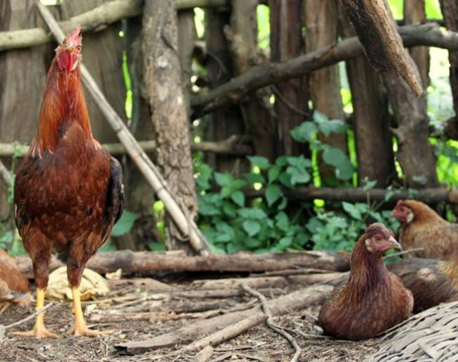 ethiopian village chickens