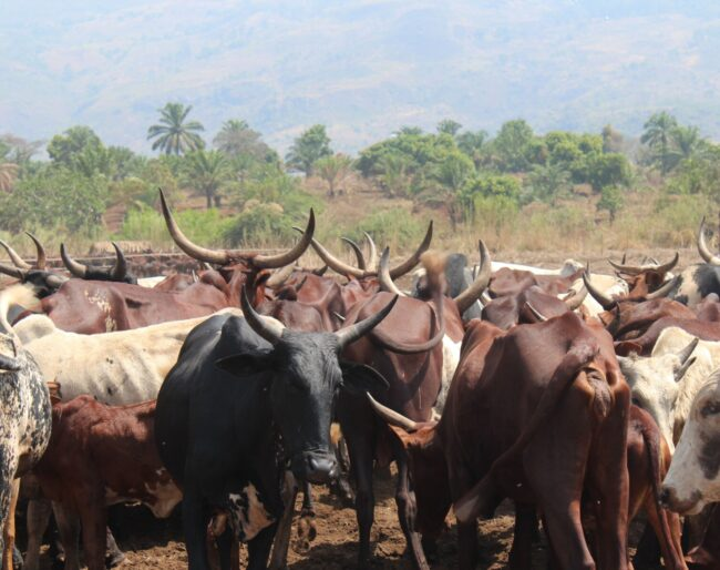 Cattle in Cameroon