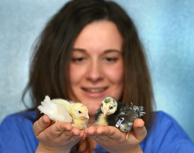 Maeve Ballantyne, CTLGH and Rolsin researcher with chicks